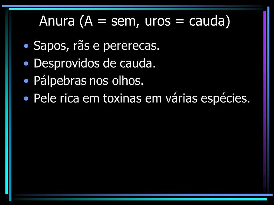 Anura (A = sem, uros = cauda)