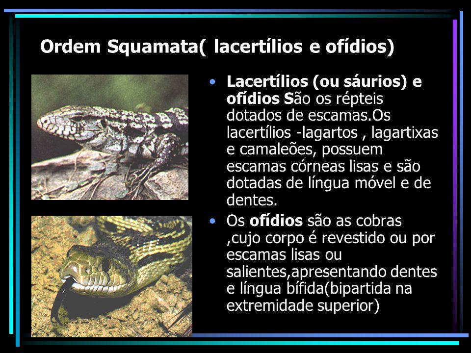 Ordem Squamata( lacertílios e ofídios)