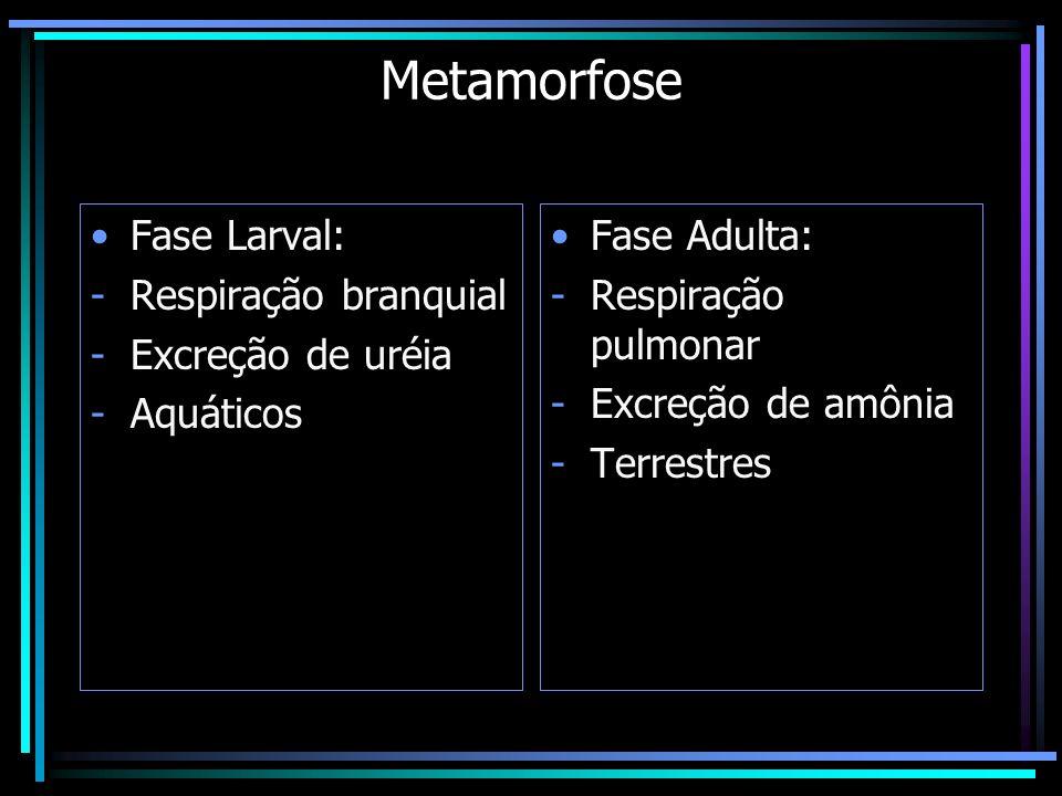 Metamorfose Fase Larval: Respiração branquial Excreção de uréia