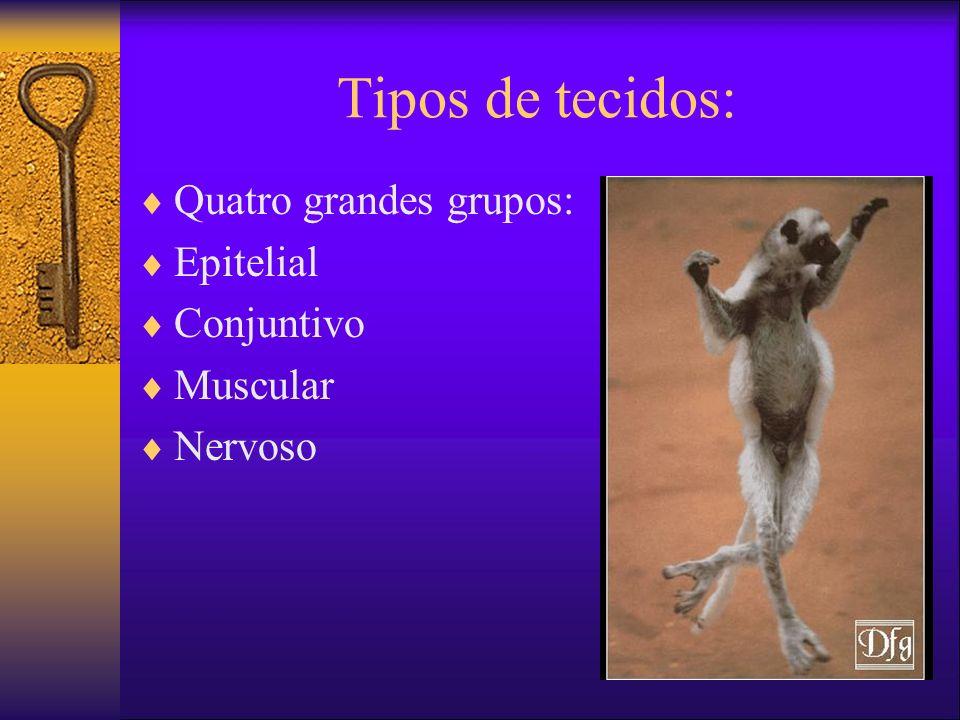 Tipos de tecidos: Quatro grandes grupos: Epitelial Conjuntivo Muscular