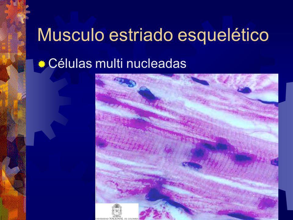 Musculo estriado esquelético