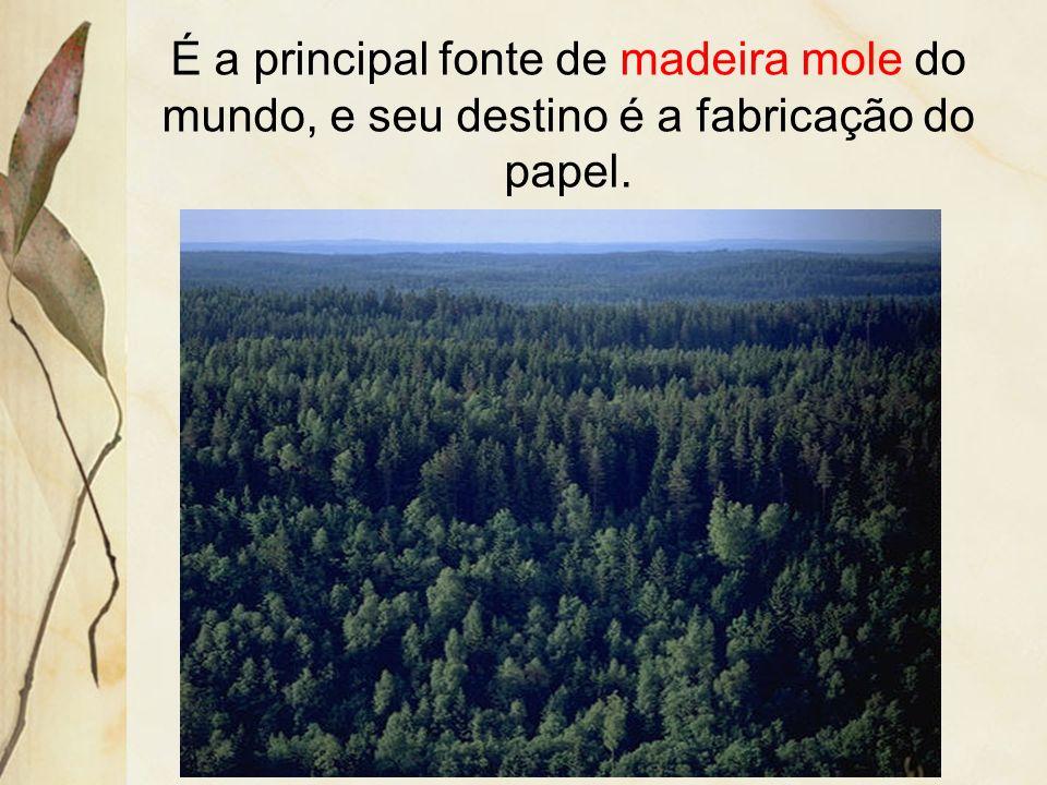 É a principal fonte de madeira mole do mundo, e seu destino é a fabricação do papel.