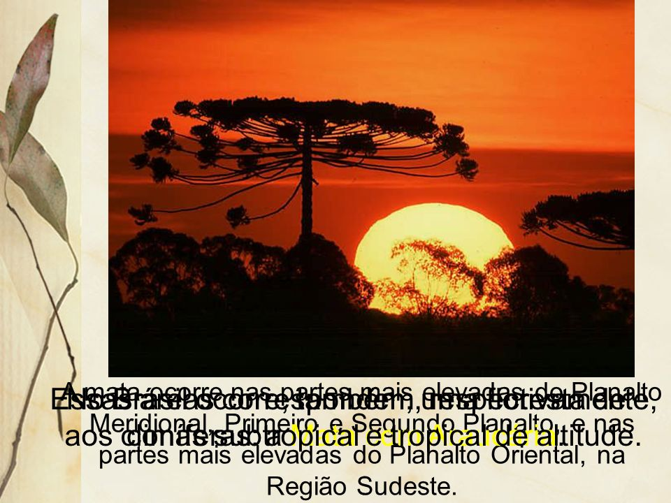 A mata ocorre nas partes mais elevadas do Planalto Meridional, Primeiro e Segundo Planalto, e nas partes mais elevadas do Planalto Oriental, na Região Sudeste.