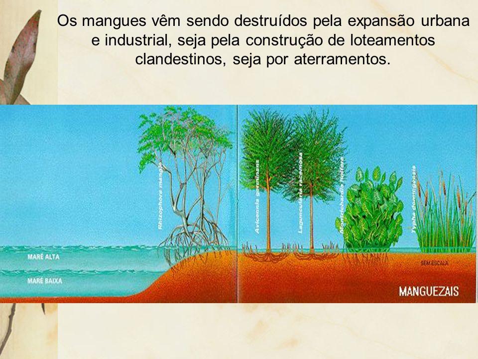 Os mangues vêm sendo destruídos pela expansão urbana e industrial, seja pela construção de loteamentos clandestinos, seja por aterramentos.