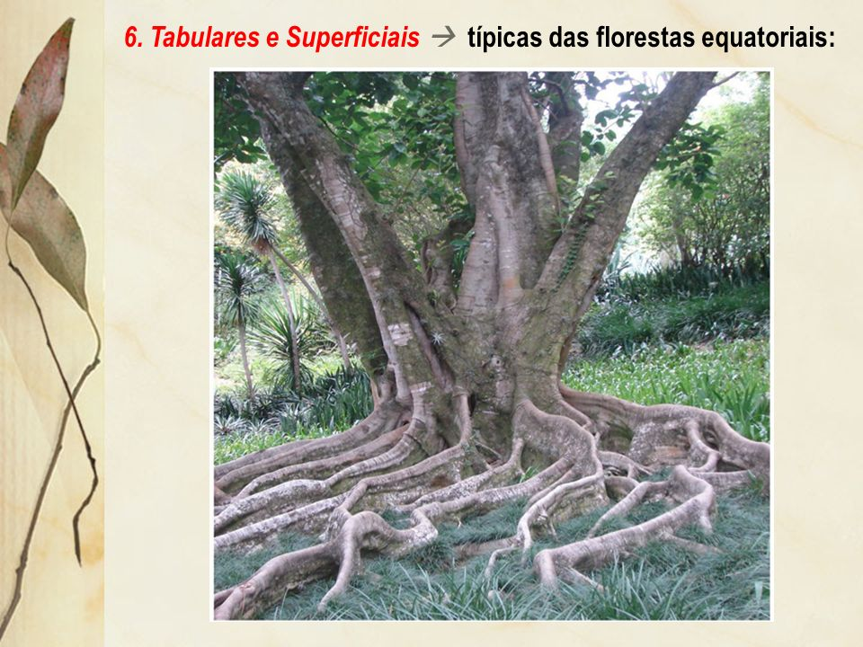 6. Tabulares e Superficiais  típicas das florestas equatoriais:
