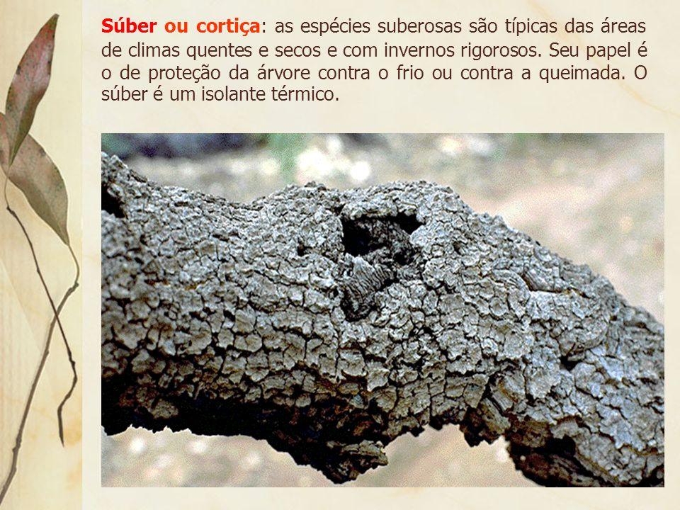 Súber ou cortiça: as espécies suberosas são típicas das áreas de climas quentes e secos e com invernos rigorosos.