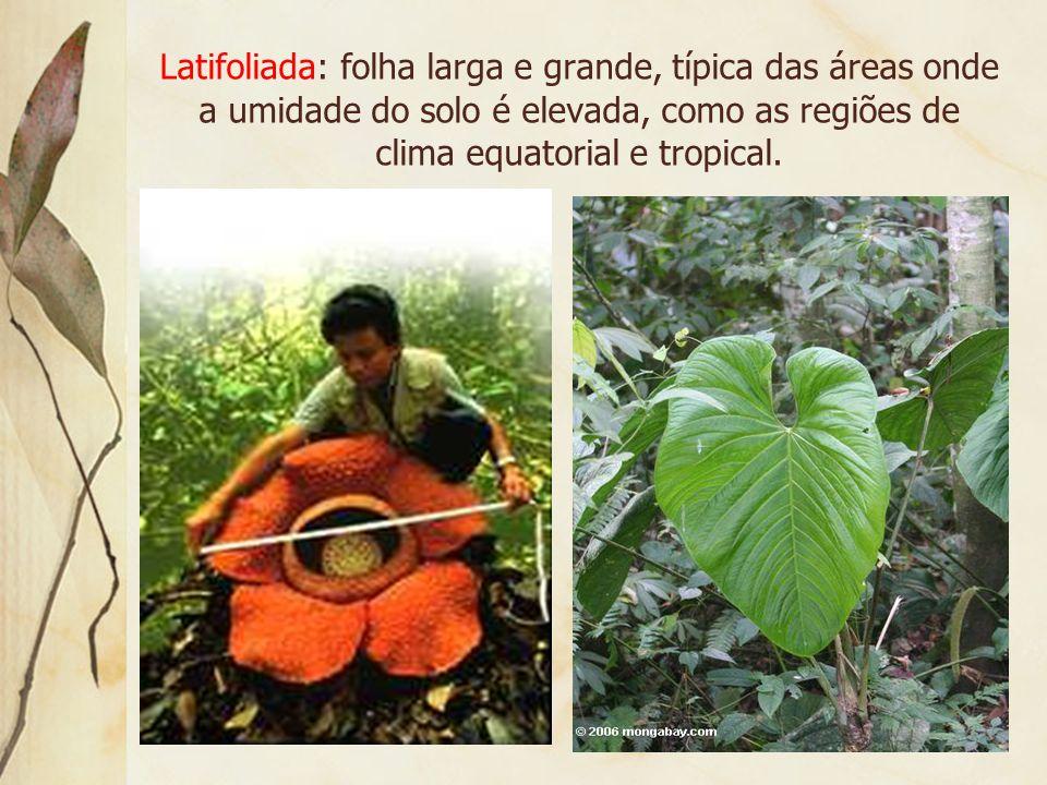 Latifoliada: folha larga e grande, típica das áreas onde a umidade do solo é elevada, como as regiões de clima equatorial e tropical.