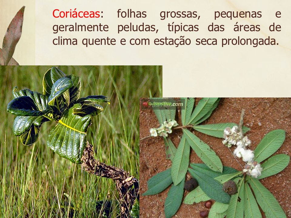 Coriáceas: folhas grossas, pequenas e geralmente peludas, típicas das áreas de clima quente e com estação seca prolongada.