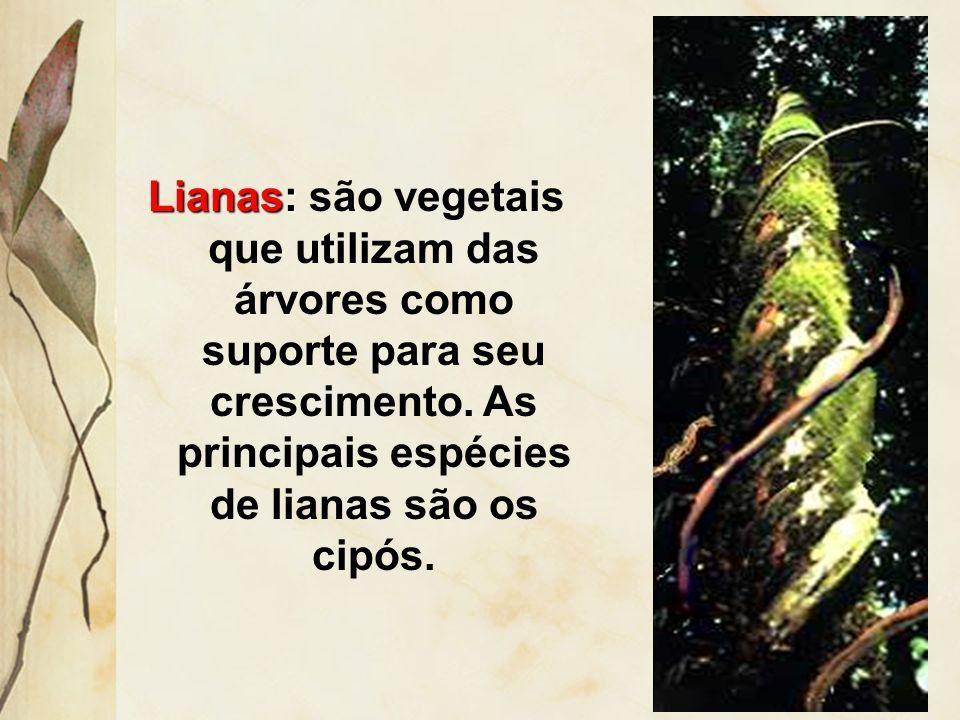Lianas: são vegetais que utilizam das árvores como suporte para seu crescimento.