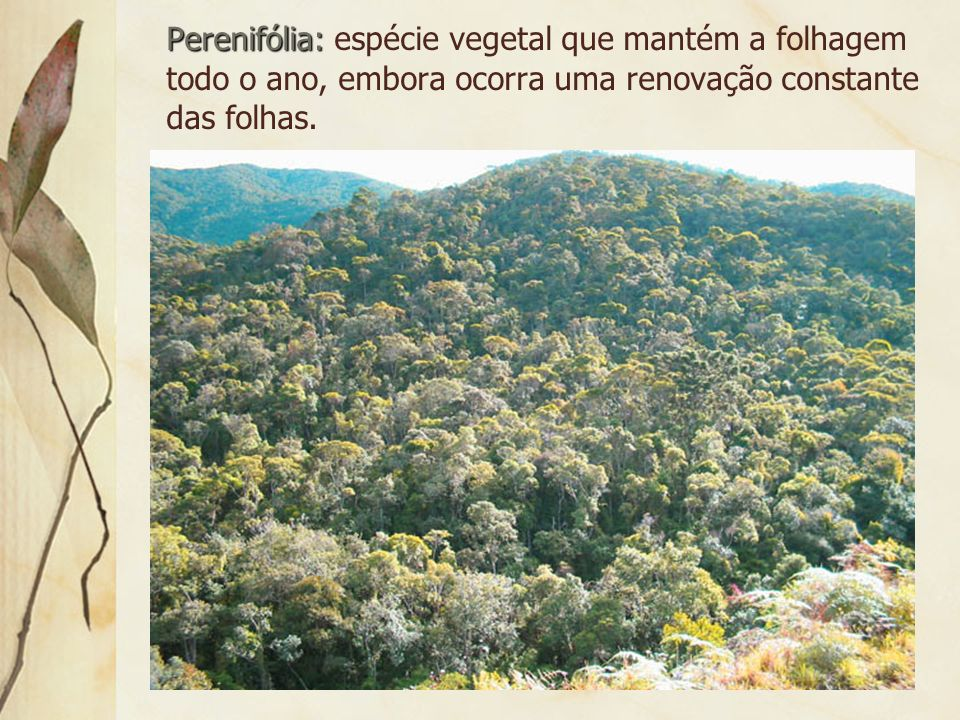Perenifólia: espécie vegetal que mantém a folhagem todo o ano, embora ocorra uma renovação constante das folhas.