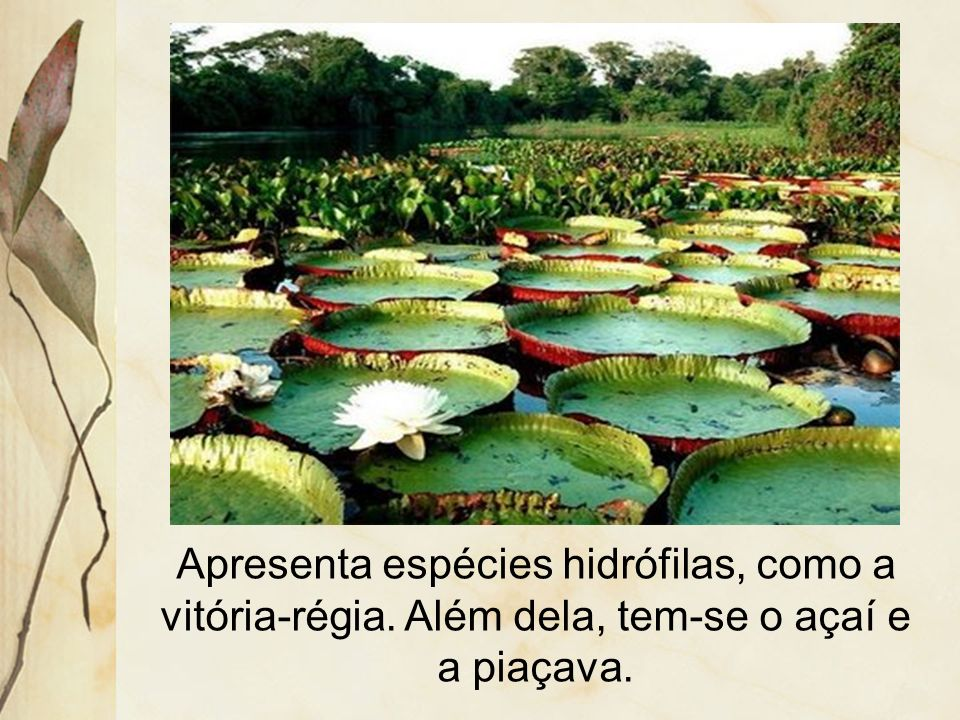 Apresenta espécies hidrófilas, como a vitória-régia