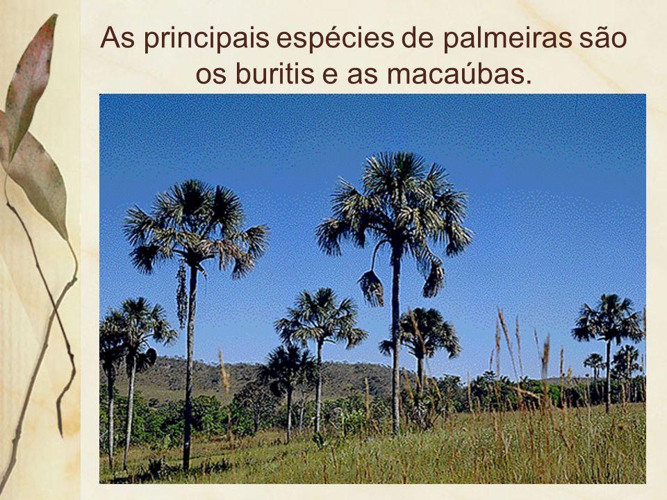 As principais espécies de palmeiras são os buritis e as macaúbas.