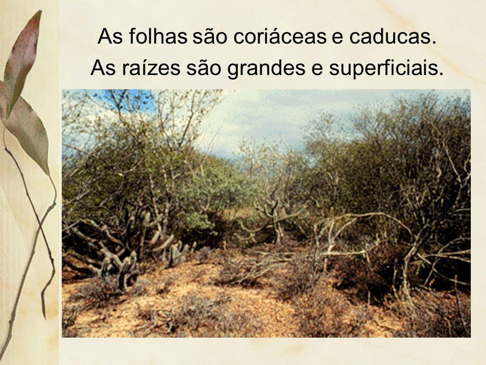 As folhas são coriáceas e caducas.