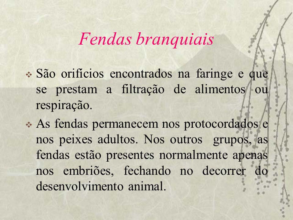 Fendas branquiais São orifícios encontrados na faringe e que se prestam a filtração de alimentos ou respiração.