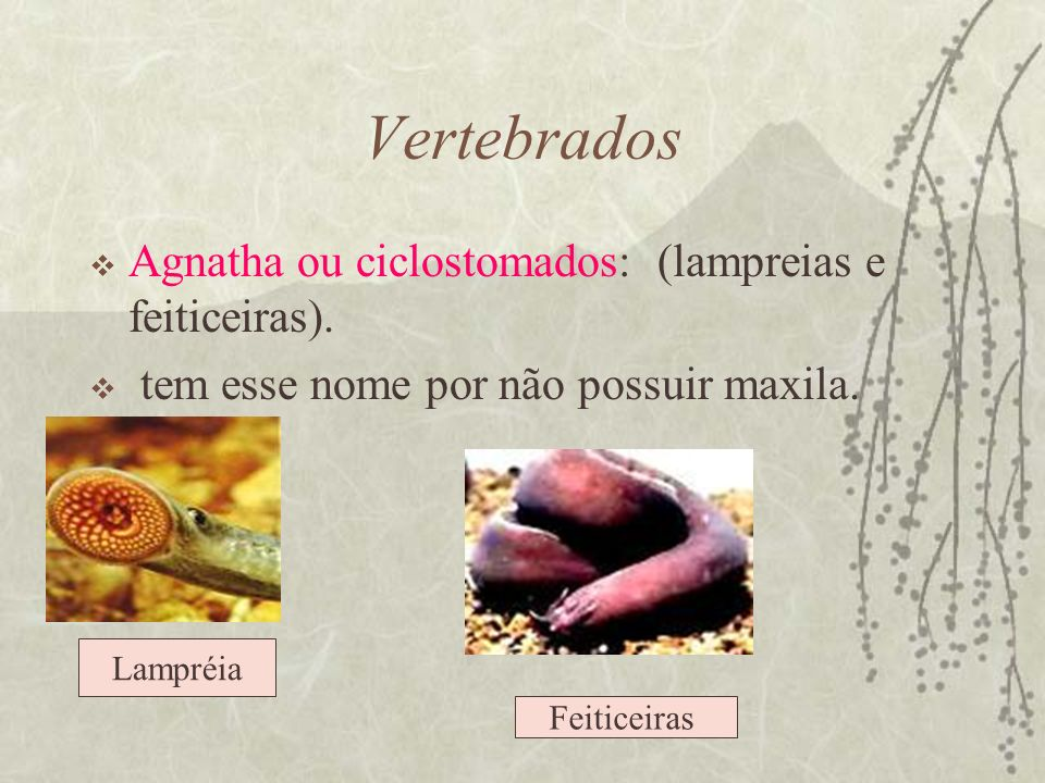 Vertebrados Agnatha ou ciclostomados: (lampreias e feiticeiras).