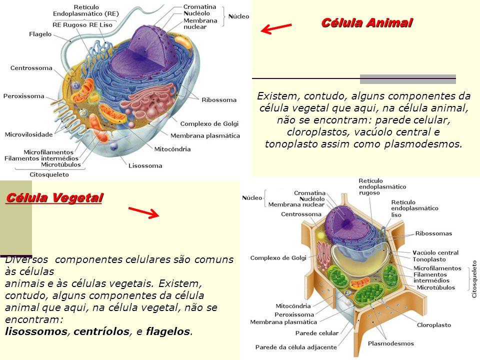 Célula Animal Célula Vegetal Existem, contudo, alguns componentes da