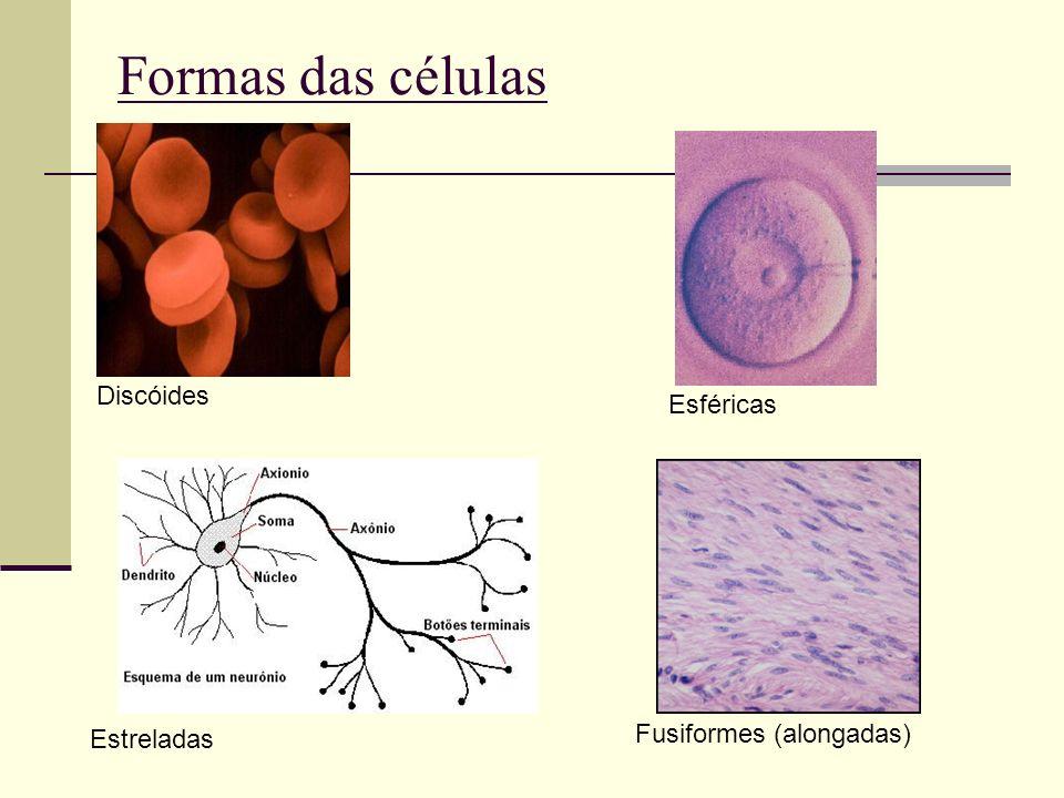 Formas das células Discóides Esféricas Fusiformes (alongadas)