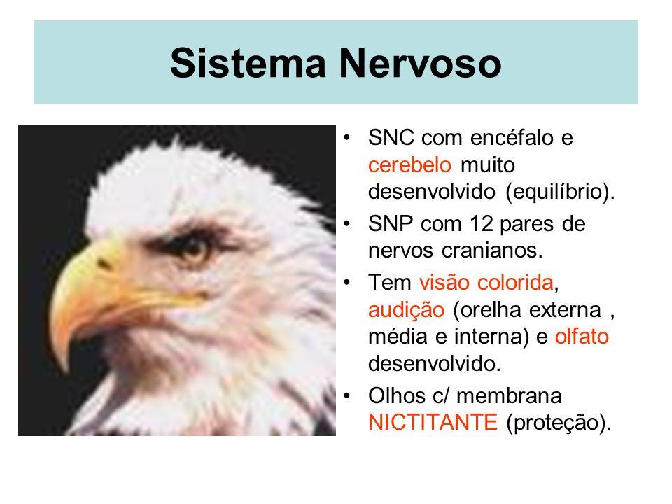 Sistema Nervoso SNC com encéfalo e cerebelo muito desenvolvido (equilíbrio). SNP com 12 pares de nervos cranianos.