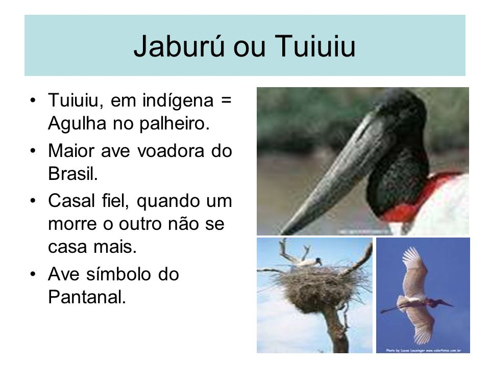 Jaburú ou Tuiuiu Tuiuiu, em indígena = Agulha no palheiro.