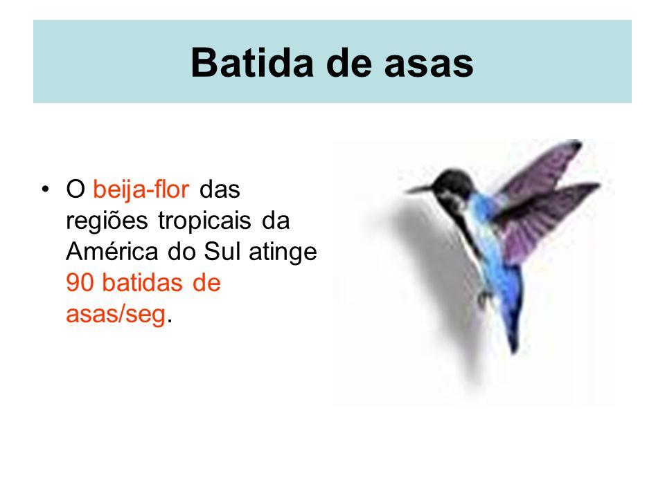 Batida de asas O beija-flor das regiões tropicais da América do Sul atinge 90 batidas de asas/seg.