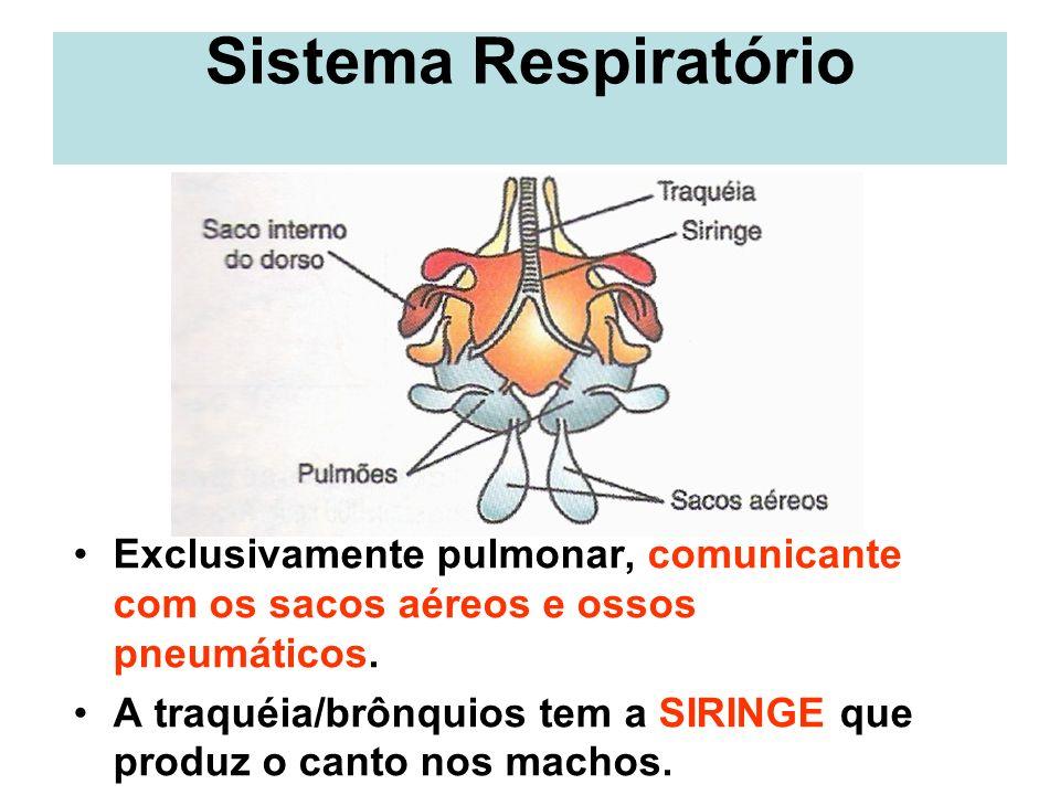 Sistema Respiratório Exclusivamente pulmonar, comunicante com os sacos aéreos e ossos pneumáticos.
