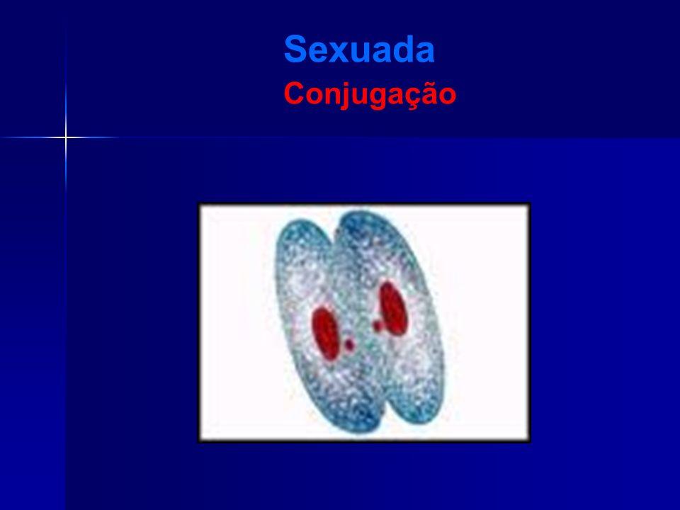 Sexuada Conjugação