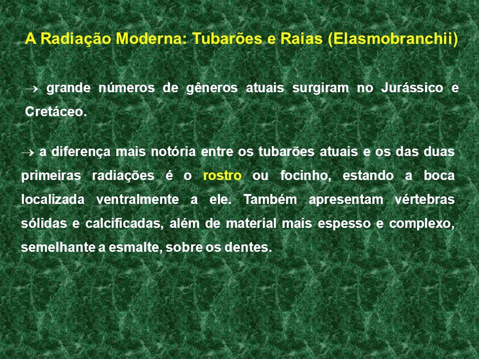 A Radiação Moderna: Tubarões e Raias (Elasmobranchii)
