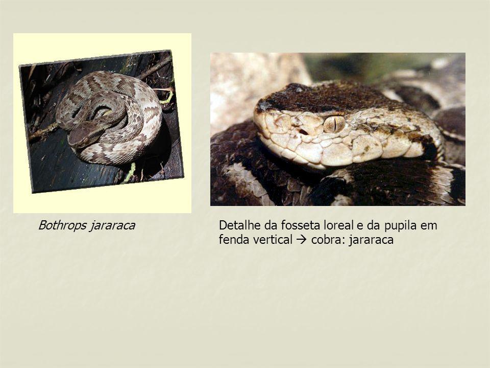 Bothrops jararaca Detalhe da fosseta loreal e da pupila em fenda vertical  cobra: jararaca