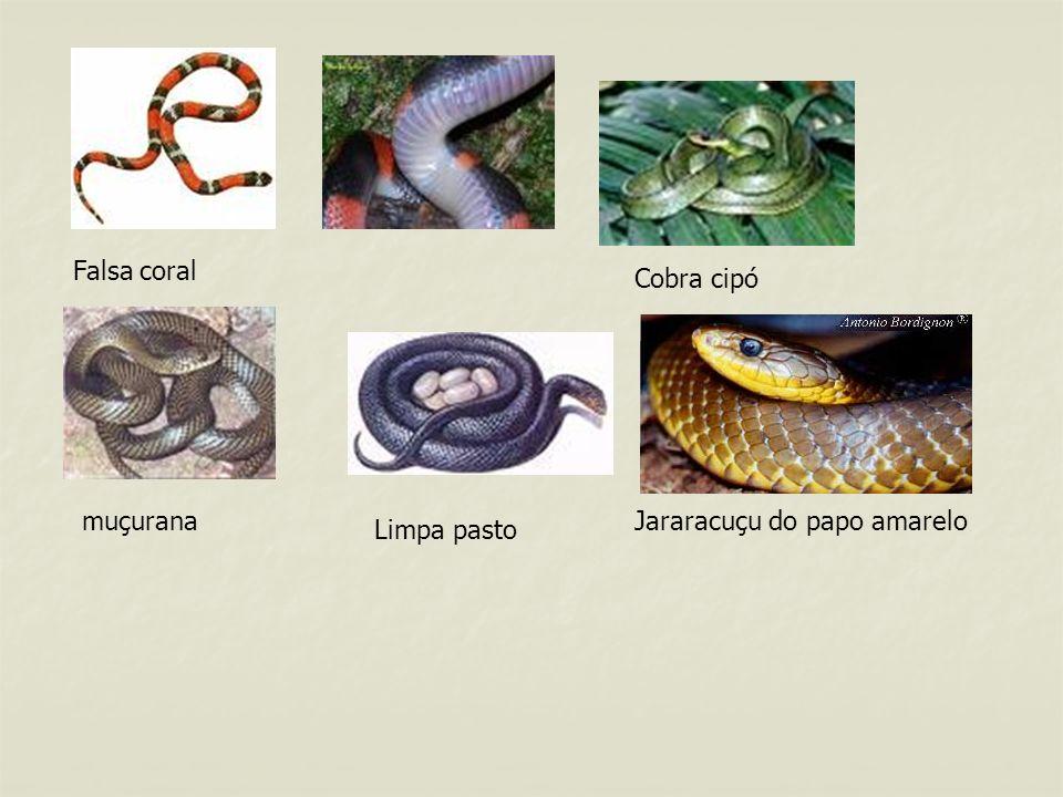 Falsa coral Cobra cipó muçurana Jararacuçu do papo amarelo Limpa pasto