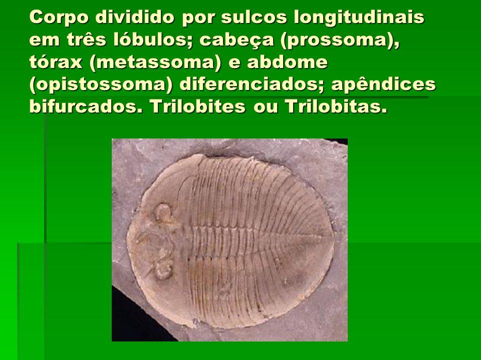 Corpo dividido por sulcos longitudinais em três lóbulos; cabeça (prossoma), tórax (metassoma) e abdome (opistossoma) diferenciados; apêndices bifurcados.