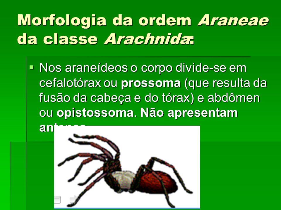 Morfologia da ordem Araneae da classe Arachnida: