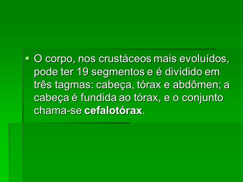 O corpo, nos crustáceos mais evoluídos, pode ter 19 segmentos e é dividido em três tagmas: cabeça, tórax e abdômen; a cabeça é fundida ao tórax, e o conjunto chama-se cefalotórax.
