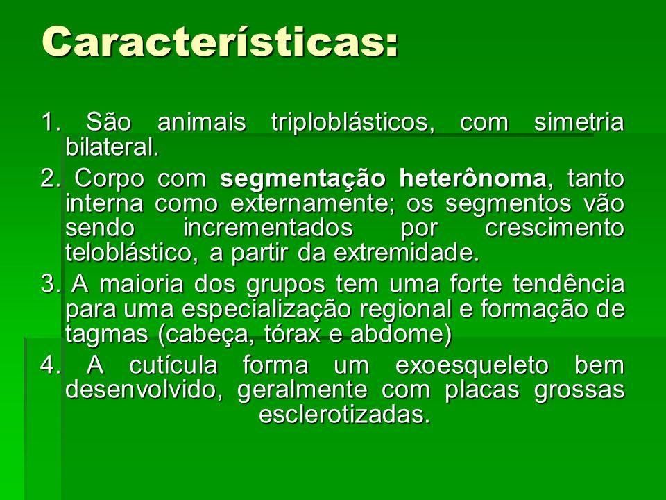 Características: 1. São animais triploblásticos, com simetria bilateral.