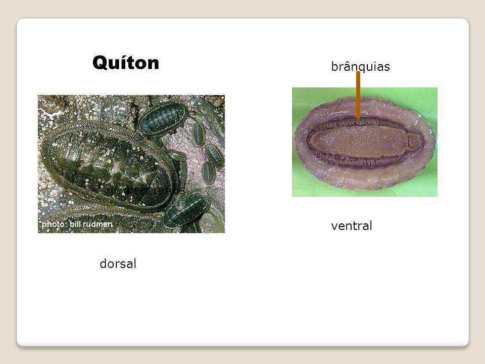 Quíton brânquias ventral brânquias ventral dorsal