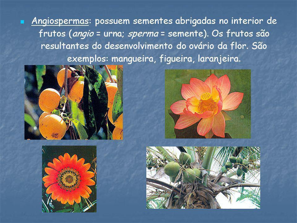 Angiospermas: possuem sementes abrigadas no interior de frutos (angio = urna; sperma = semente).