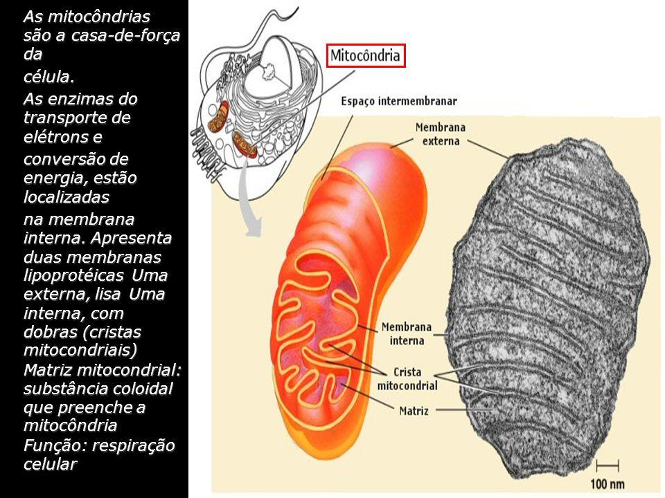 As mitocôndrias são a casa-de-força da
