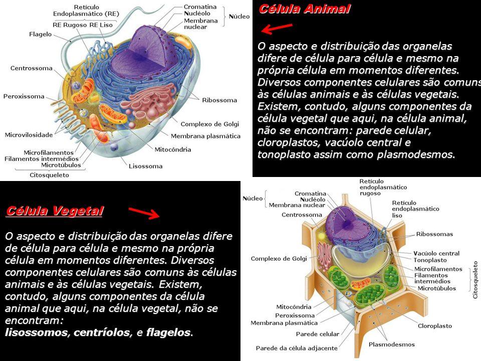 Célula Animal O aspecto e distribuição das organelas