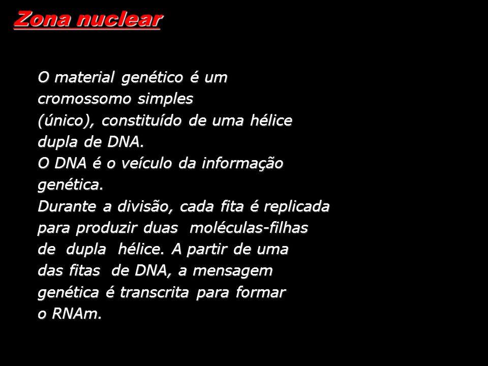 Zona nuclear O material genético é um cromossomo simples