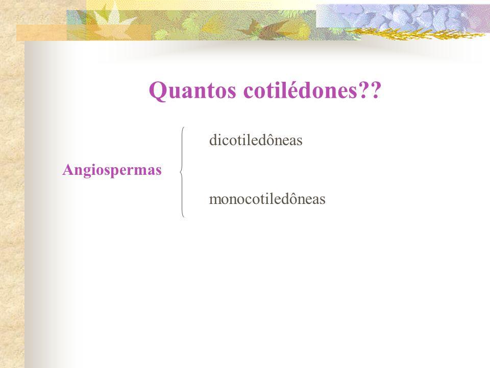 Quantos cotilédones dicotiledôneas Angiospermas monocotiledôneas
