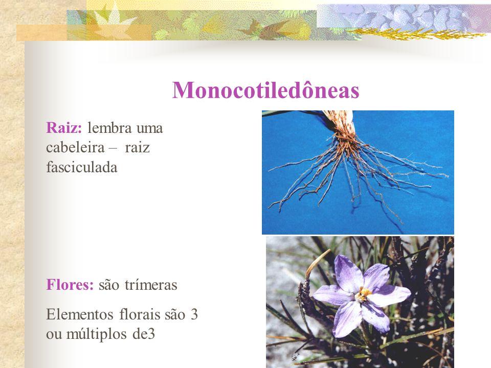 Monocotiledôneas Raiz: lembra uma cabeleira – raiz fasciculada