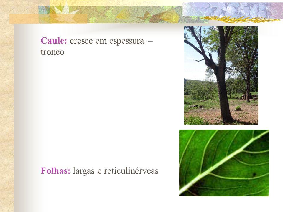 Caule: cresce em espessura – tronco