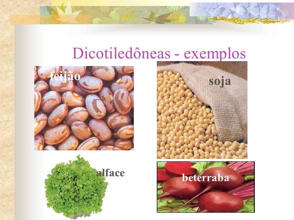 Dicotiledôneas - exemplos