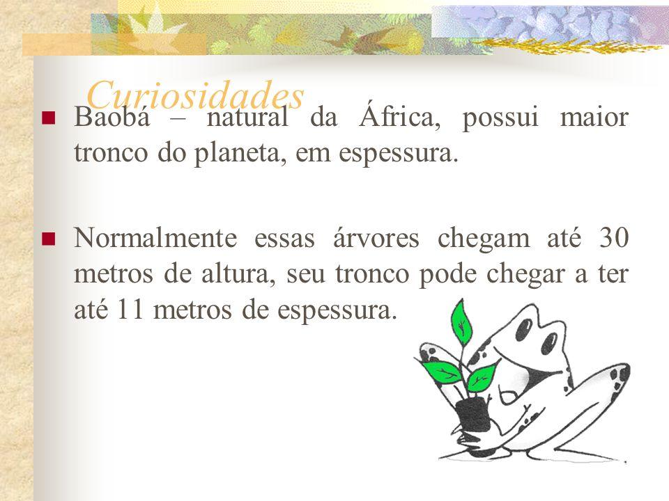 Curiosidades Baobá – natural da África, possui maior tronco do planeta, em espessura.