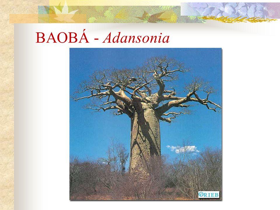 BAOBÁ - Adansonia