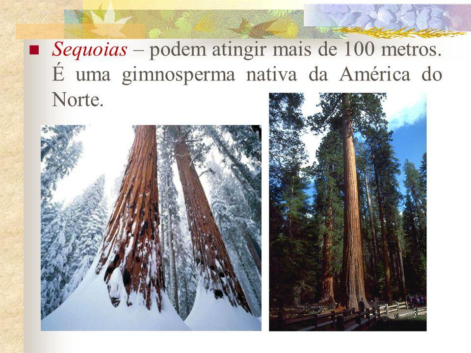 Sequoias – podem atingir mais de 100 metros