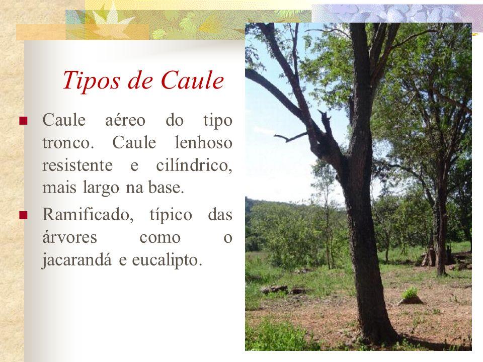 Tipos de Caule Caule aéreo do tipo tronco. Caule lenhoso resistente e cilíndrico, mais largo na base.