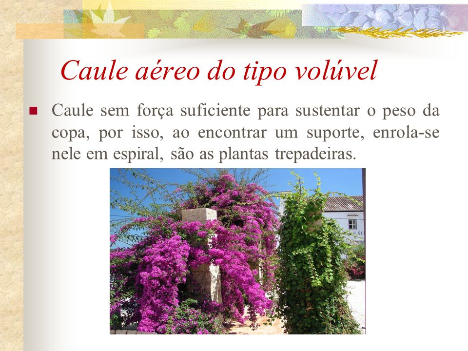 Caule aéreo do tipo volúvel