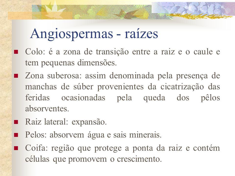 Angiospermas - raízes Colo: é a zona de transição entre a raiz e o caule e tem pequenas dimensões.