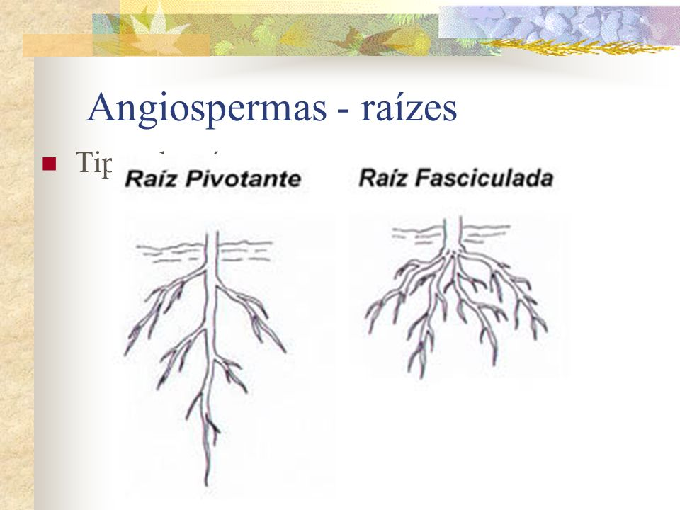 Angiospermas - raízes Tipos de raízes: