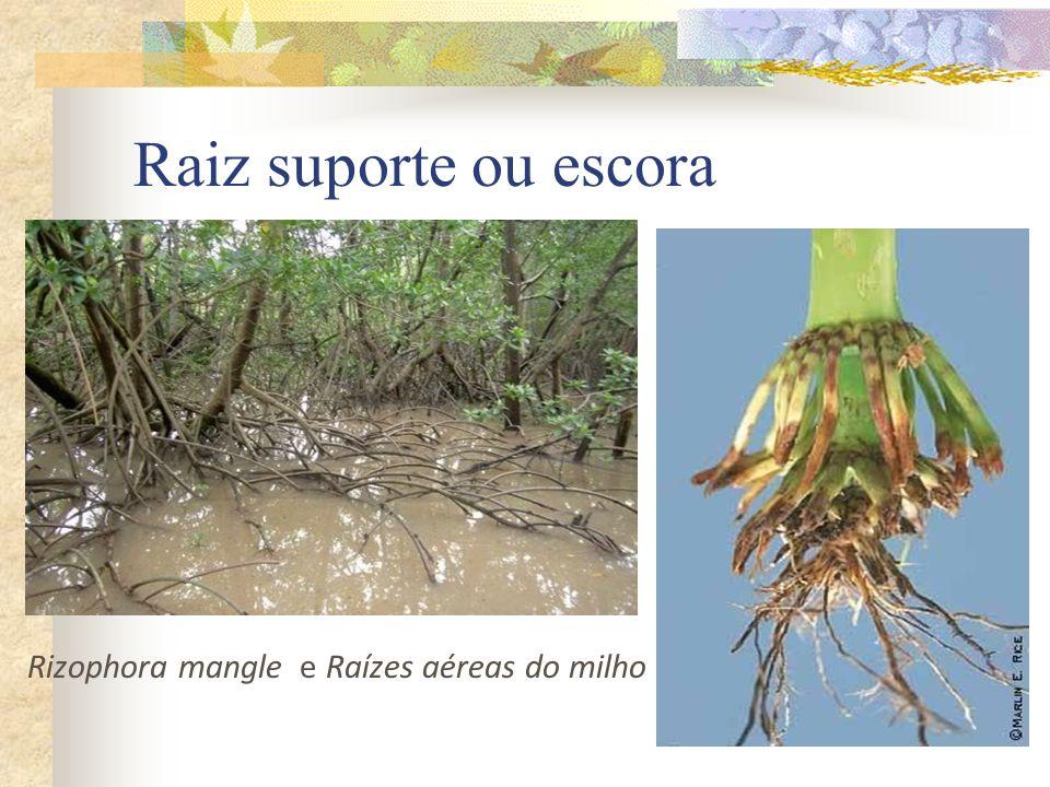 Raiz suporte ou escora Rizophora mangle e Raízes aéreas do milho